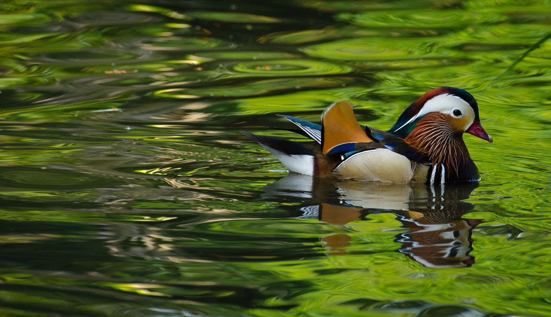 Birds-Duck-Impression-2-Laria-3792.jpg