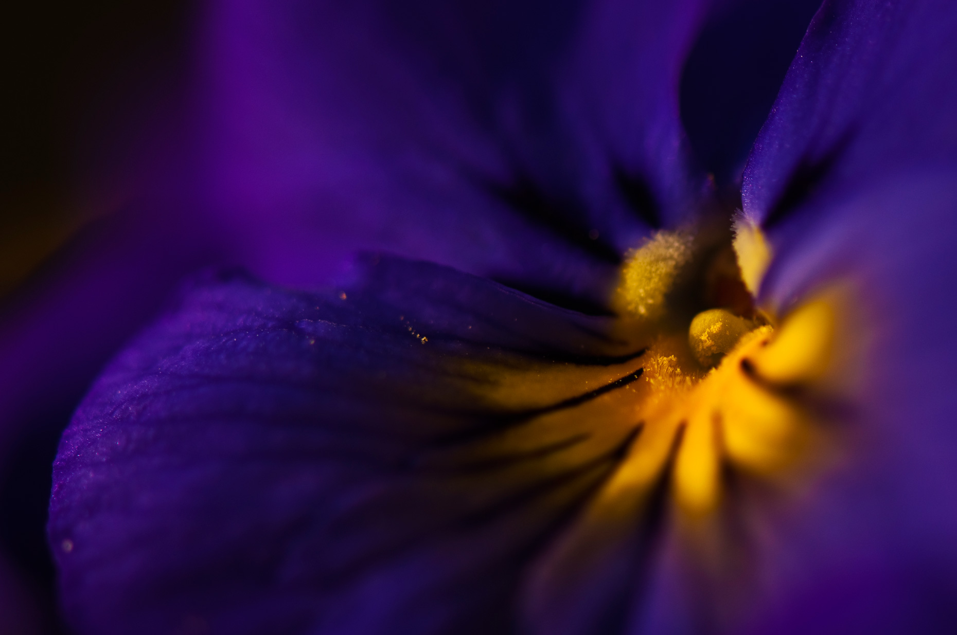 Flower-Photos-Inside-the-Pansy-Laria-Saunders.jpg